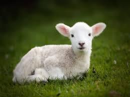 April 2015 lamb